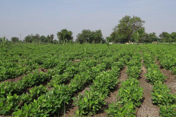 peanut field, groundnut field, india